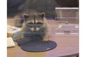 Raccoon found inside a bank in Redwood City, California.