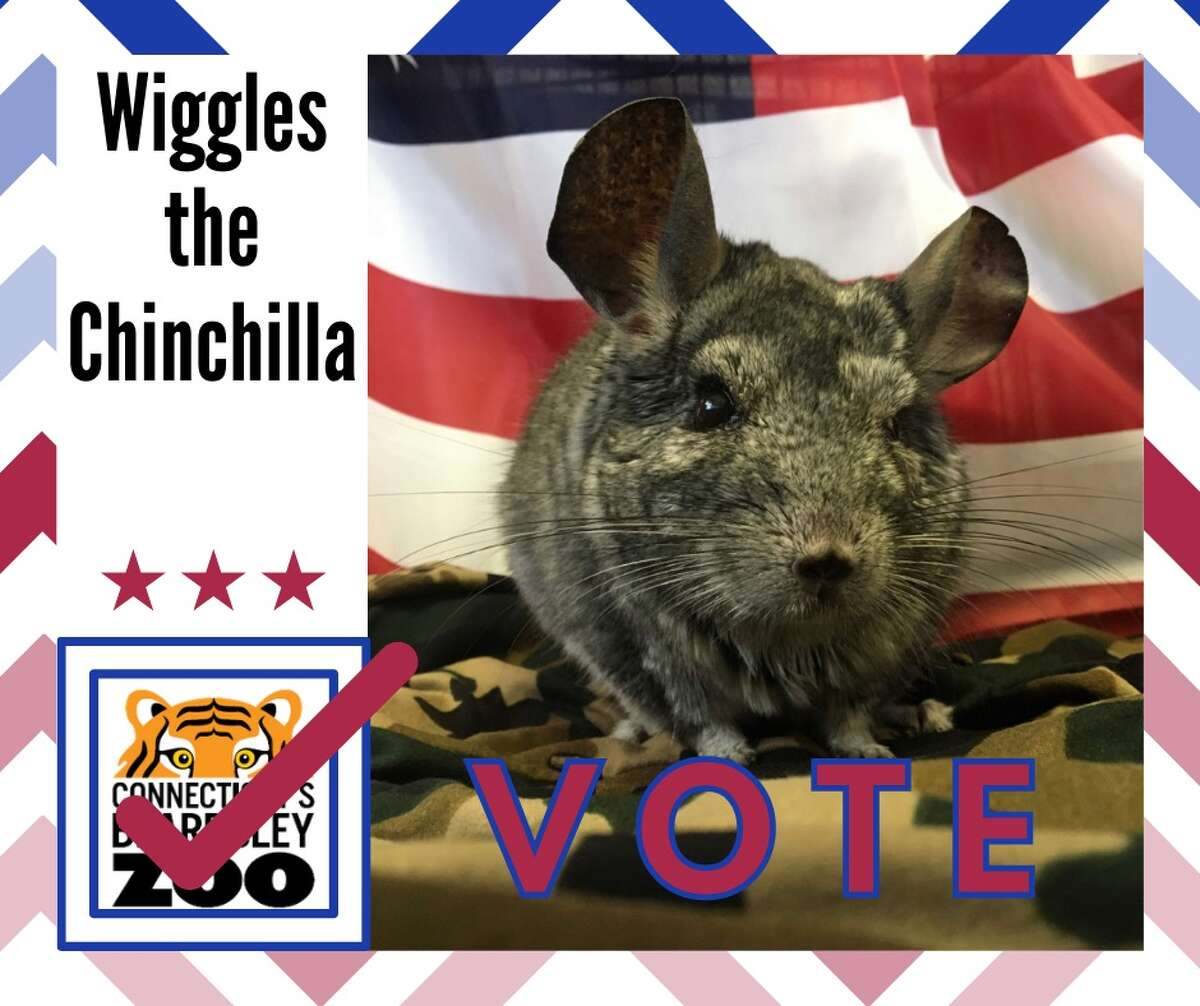Wiggles the chinchilla's election poster. Less than two weeks ago, Wiggles issued a statement wishing his constituents a happy and healthy holiday season.