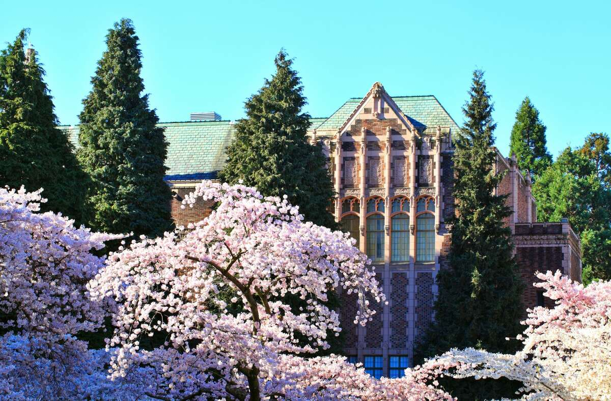 Cherry blossom trees in front of a building in the University of Washington