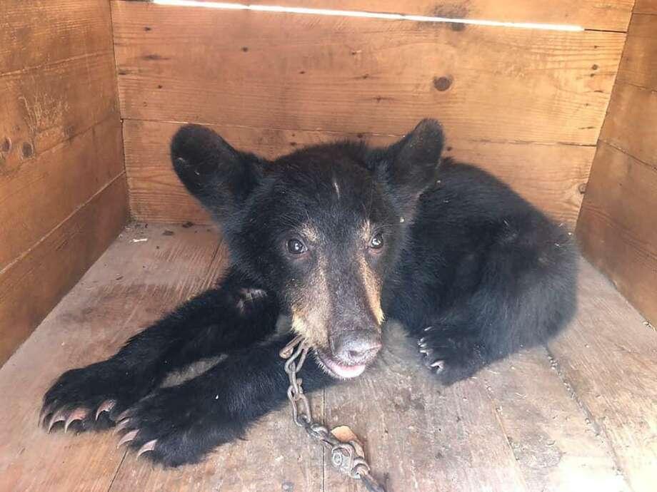 This black bear cub was captured in Nuevo Laredo. Photo: Courtesy Photo /Government Of Nuevo Laredo
