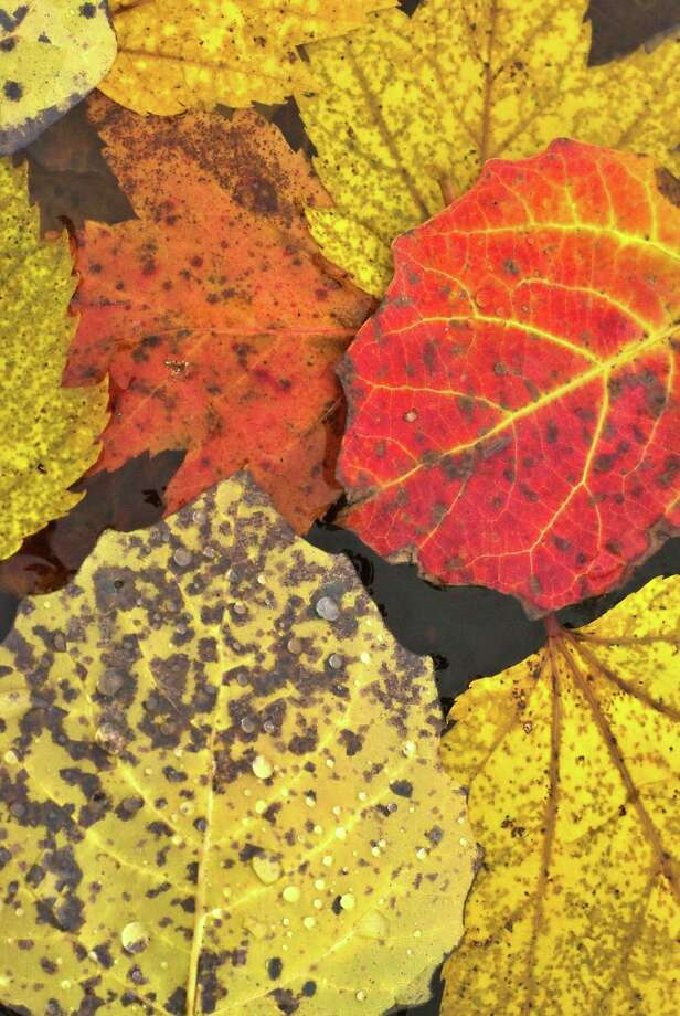 As the cold weather creeps into the Big Rapids area, the colorful leaves are beginning to fall from the trees into piles along the streets. On a recent rainy morning, Pioneer employee David Roberts captured this photo of yellow, orange and red leaves in a rain puddle. (Pioneer photo/David Roberts)