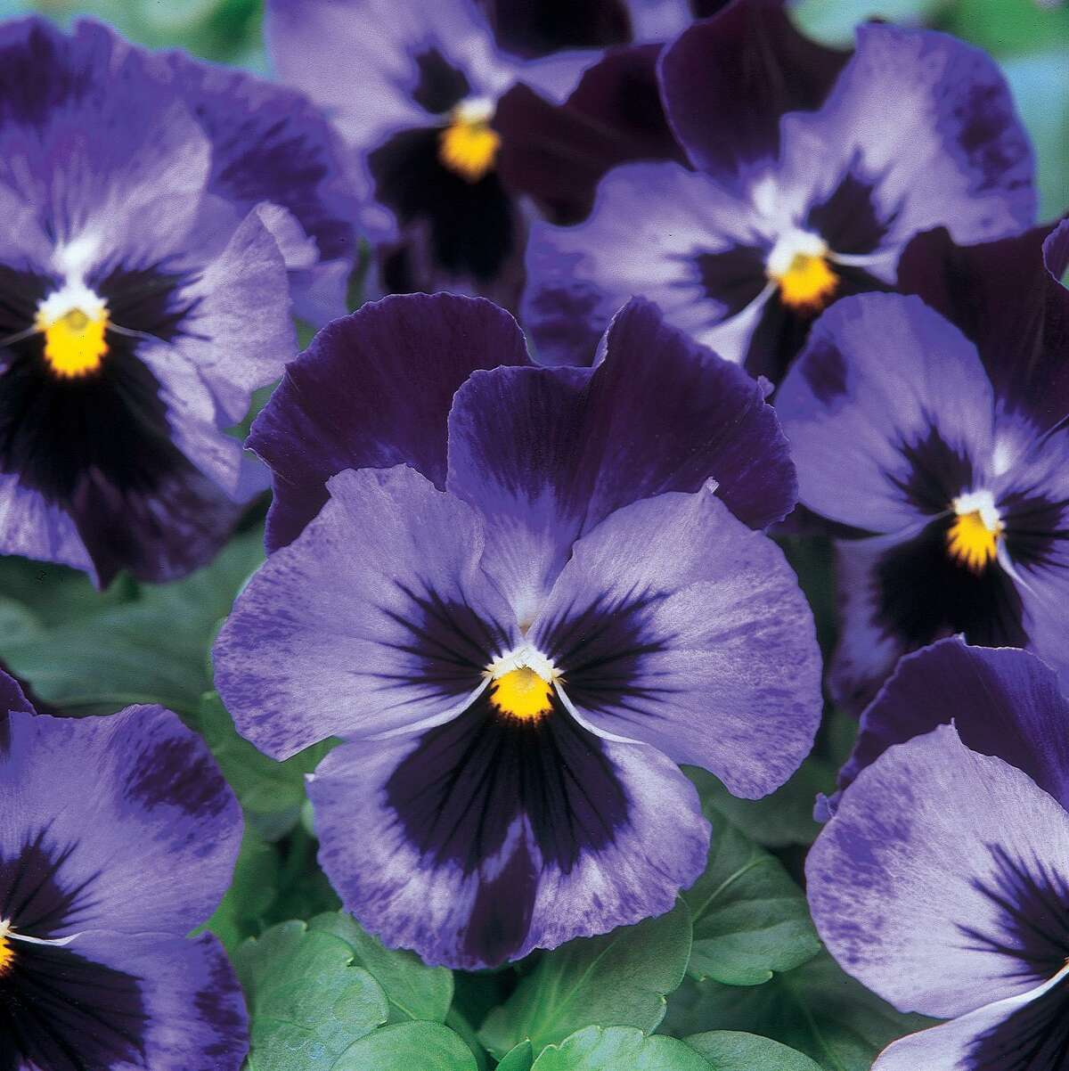 PANSY BABY BINGO -- DENIM c1997 PanAmerican Seed Co. Used in photo illustration HOUSTON - 07/07/2001 SKYBOX HOUCHRON CAPTION (07/07/2001): Local mystery writer's 'weeders' are enjoying the fruit from her garden. Photo illustration (dagger with flowers) by Nadya Shakoor. HOUCHRON CAPTION (07/07/2001): MYSTERY WRITER FINDS PLOT THICKENS IN GARDEN SETTING.