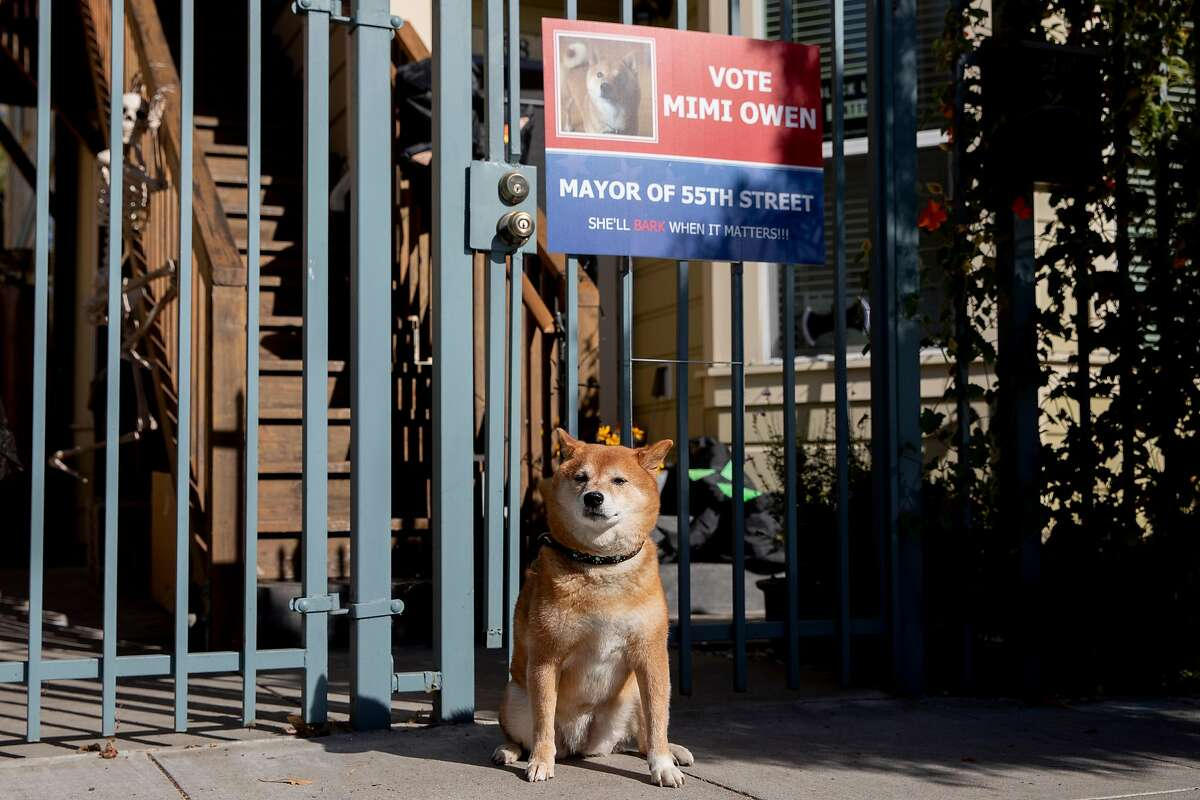 Mimi the dog poses for a portrait with her campaign sign at her home along 55th Street in Oakland, Calif. Thursday, October 22, 2020. Mimi is one of three furry candidates in the race for Mayor of 55th Street in Oakland.