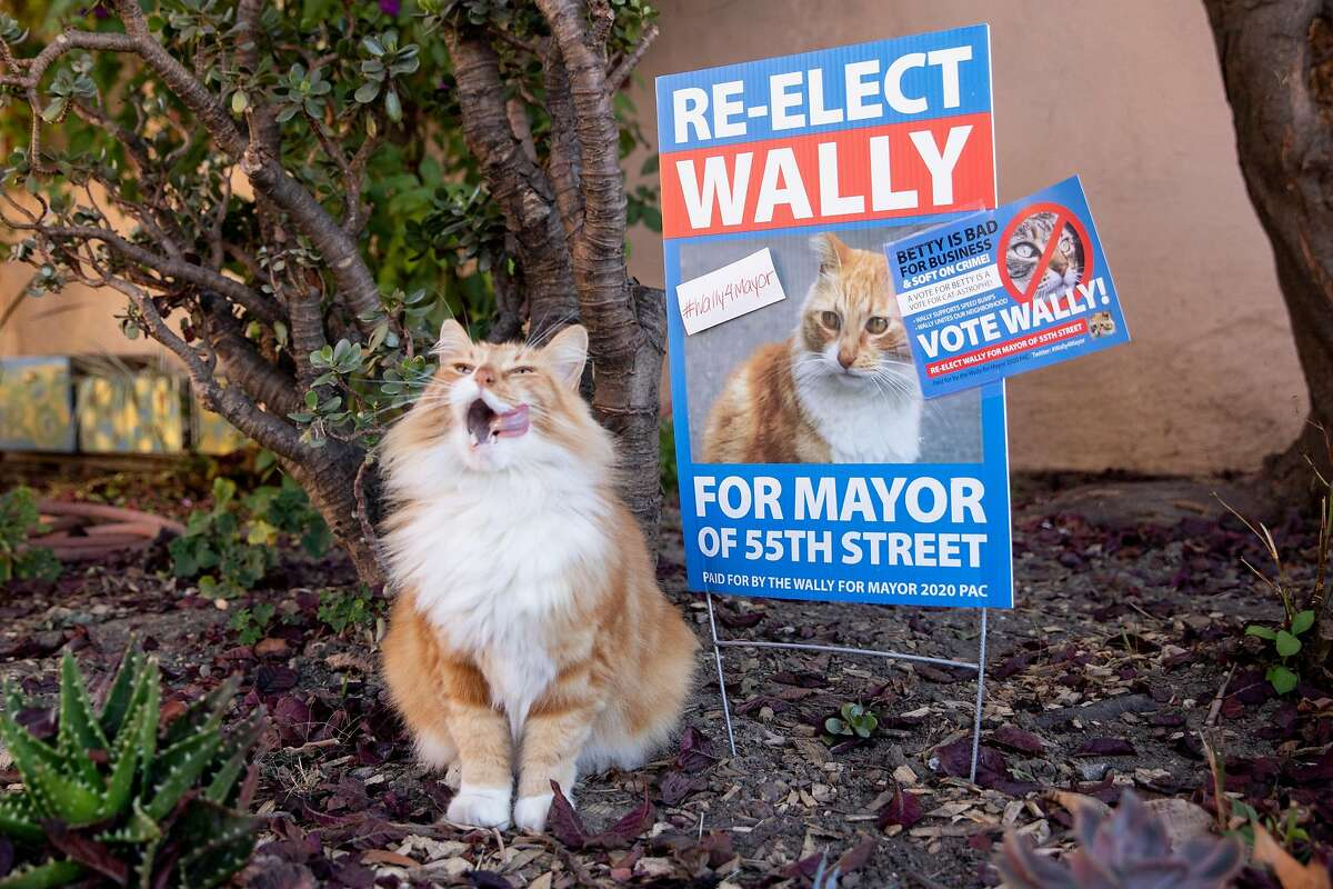 Cat Running For Mayor