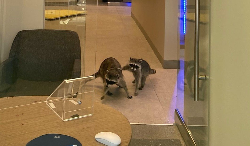 Raccoons break into Redwood City bank, caught with paws in cookie tin