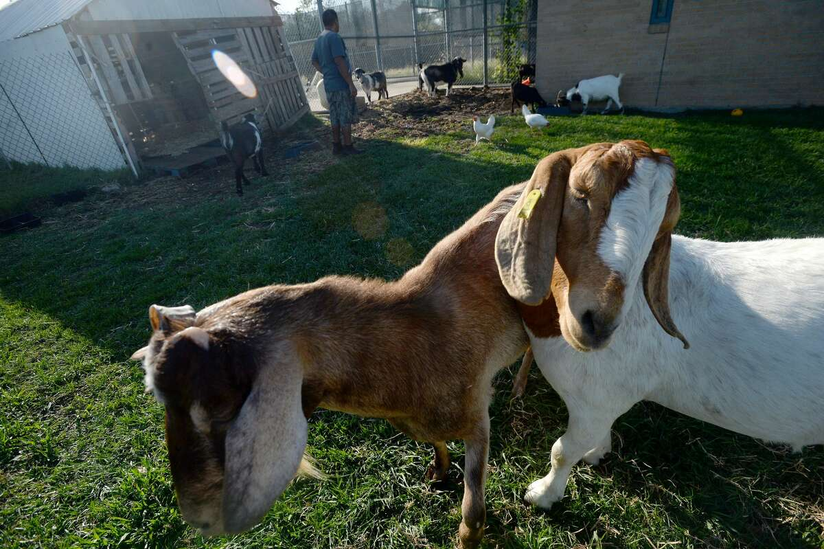 The goats who live on campus at The Dream Center of Southeast Texas rroam in their pen. The animals are cared for by men in the Center's S.U.C.C.E.S.S Program, a faith-based, 12-step recovery program for those struggling with addiction or other life-controlling problems. While the goats were brought to campus as a means of managing the grasslands on the 50-plus acre campus, they have become an integral animal therapy component of the program. Photo taken Thursday, October 22, 2020 Kim Brent/The Enterprise