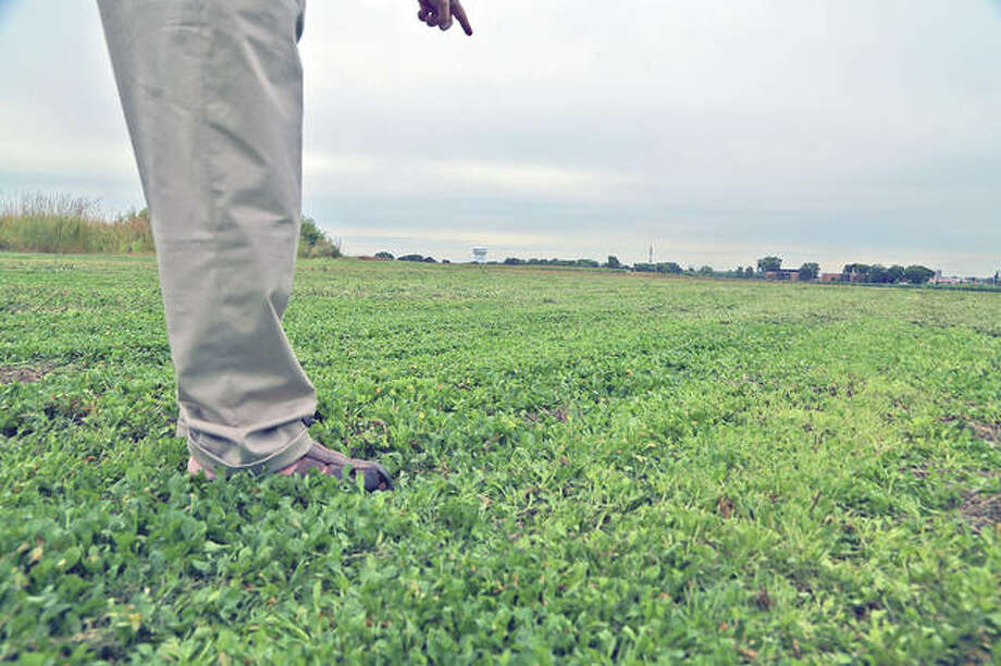 Pennycress has considerable potential as a winter annual oil seed crop. Pennycress is planted in the fall and provides winter cover, before greening up and growing early in spring. Soybeans can be planted directly into it, and the pennycress harvested later. Or the beans can be planted after the pennycress has been harvested.