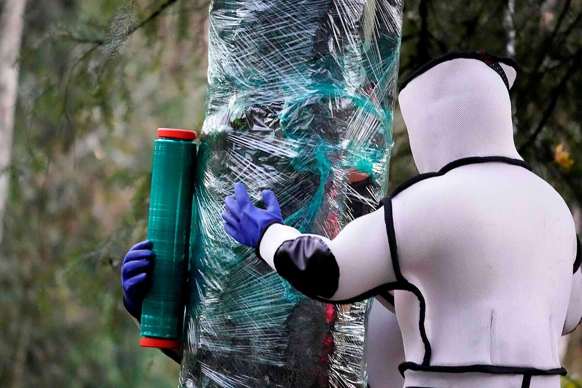 Wearing protective suits, Washington State Department of Agriculture workers finish wrapping a tree in plastic after working to eradicate a nest inside of Asian giant hornets on October 24, 2020, in Blaine, Washington. - Scientists in Washington state discovered the first nest earlier in the week of so-called murder hornets in the United States and worked to wipe it out Saturday morning to protect native honeybees. Workers with the state Agriculture Department spent weeks searching, trapping and using dental floss to tie tracking devices to Asian giant hornets, which can deliver painful stings to people and spit venom but are the biggest threat to honeybees that farmers depend on to pollinate crops. (Photo by Elaine Thompson / POOL / AFP) (Photo by ELAINE THOMPSON/POOL/AFP via Getty Images)