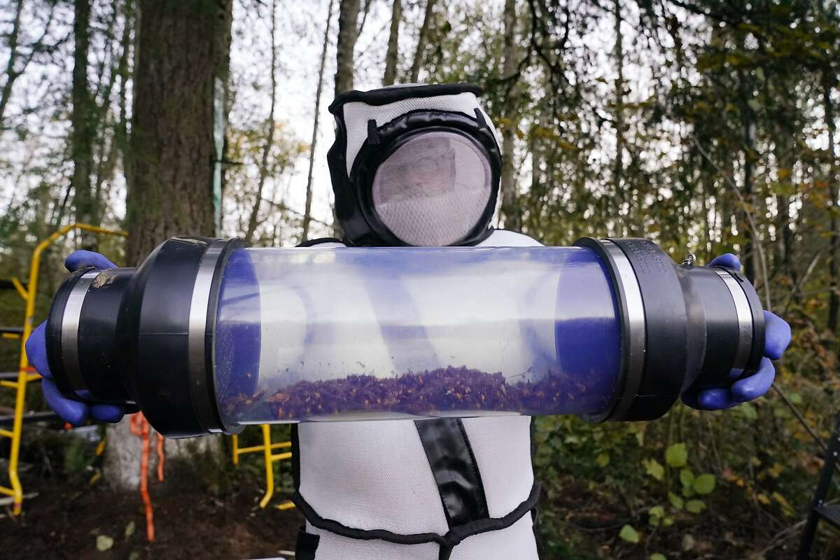 Sven Spichiger, Washington State Department of Agriculture managing entomologist, displays a canister of Asian giant hornets vacuumed from a nest in a tree behind him Saturday, Oct. 24, 2020, in Blaine, Wash.