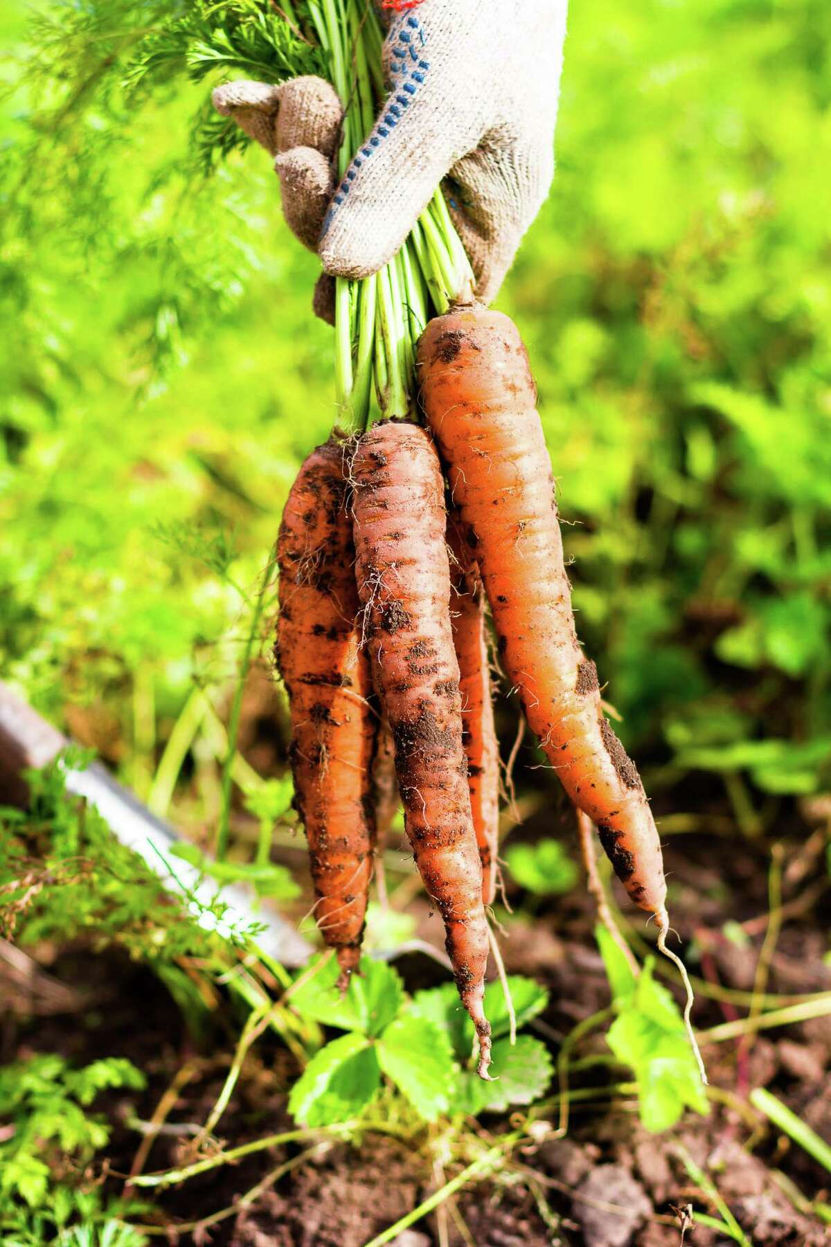 Carrots score higher on the taste test than radishes, but they are harder to grow. Carrots are more difficult because the seed is small, and it takes longer to germinate and to produce an edible product (three weeks and 75 days, respectively).