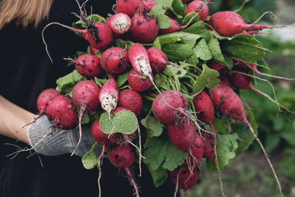 Radishes are always one seeding option. If we want to get younger children involved in the garden, we usually direct them to planting a row or container of radishes. The seeds are relatively large, and the germination rate is high.
