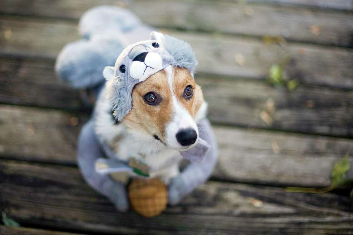 While classic costumes like those of witches, ghosts and zombies top the list of where dog parents draw inspiration for their dog's costume this year, nearly half of dog parents will purchase their dog's costume, and 20% will handmake their costumes. Given the at-home effort, pet parents don't plan to let their efforts - and puppy's cuteness - go unseen despite the impact of the novel coronavirus on ordinary trick-or-treating. According to Rover, 66% of dog parents plan to show off their dog's costume via Zoom and video calls or social media.