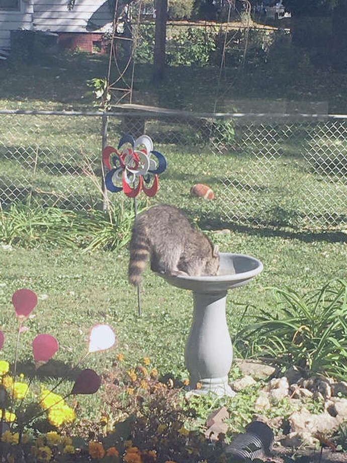 A raccoon in a bird bath follows pandemic guidelines — social distancing, wearing a mask and washing hands.