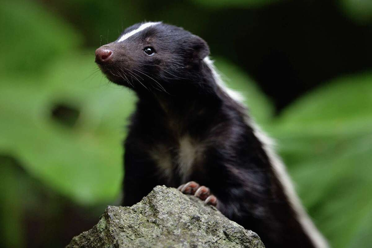 Male striped skunks tend to live alone, though can have a harem of females.