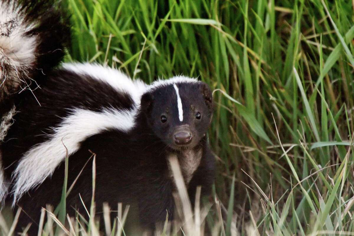The striped skunk (Mephitis mephitis) can be found all over the United States and Texas, including neighborhoods in San Antonio such as Beacon Hill.