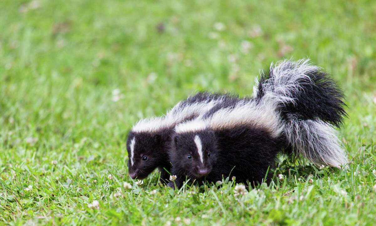 Baby striped skunks look and spray just like their parents, though the precocious kits are more likely to venture out in the daytime.