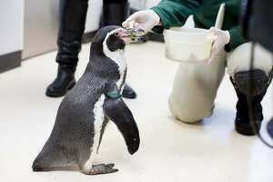 Mr. Sea, Woodland Park Zoo's oldest penguin, has passed away. He would have turned 32 in December.