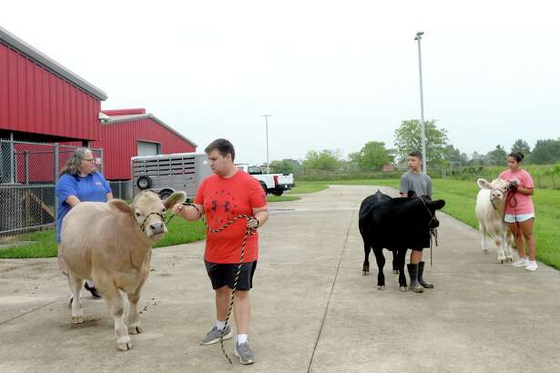 Instructor Stephanie Hoppe helps get Garrett Gerace's steer moving as he, Javi and Kelly Velazquez walk their steers outside the BISD Agriculture barn Friday morning after feeding and mucking their stalls. It is part of their twice daily chores tending to their animals as they prepare for next year's FFA shows. It not only provides regular exercise, but gives students a chance to practice walking with their animals and teaching them to take directions. Photo taken Friday, June 26, 2020 Kim Brent/The Enterprise