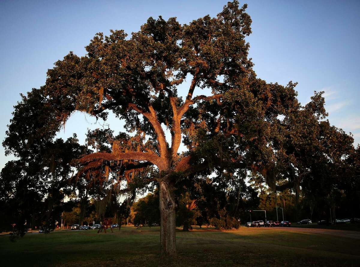 A stressed Post Oak tree at Memorial Park in Houston in this file photo.