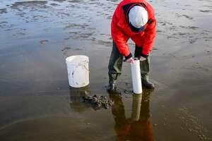 Woman using clam gun to dig razor clams at the beach, Ocean Shores, Washington State, USA