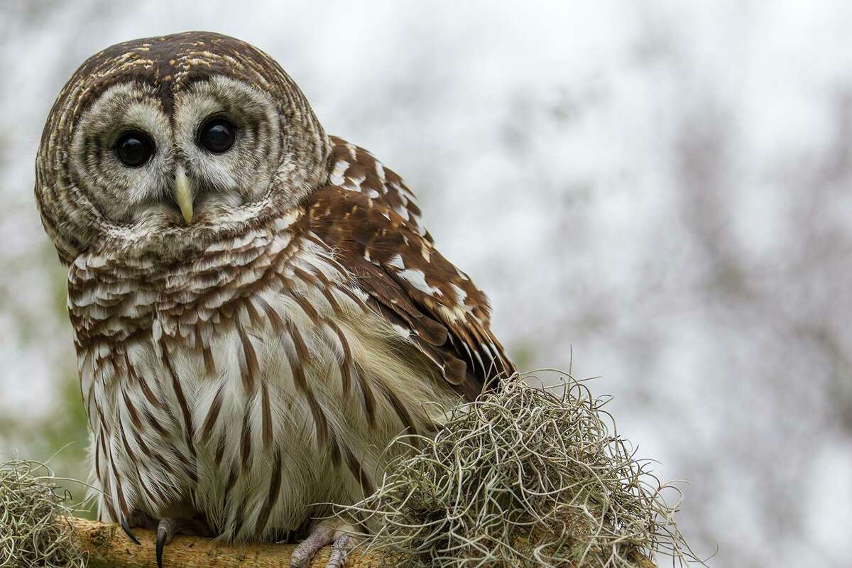 Barred owls will be on the hunt as night falls. They'll be perched high on a limb, waiting to detect prey with uncanny auditory and visual acuity.