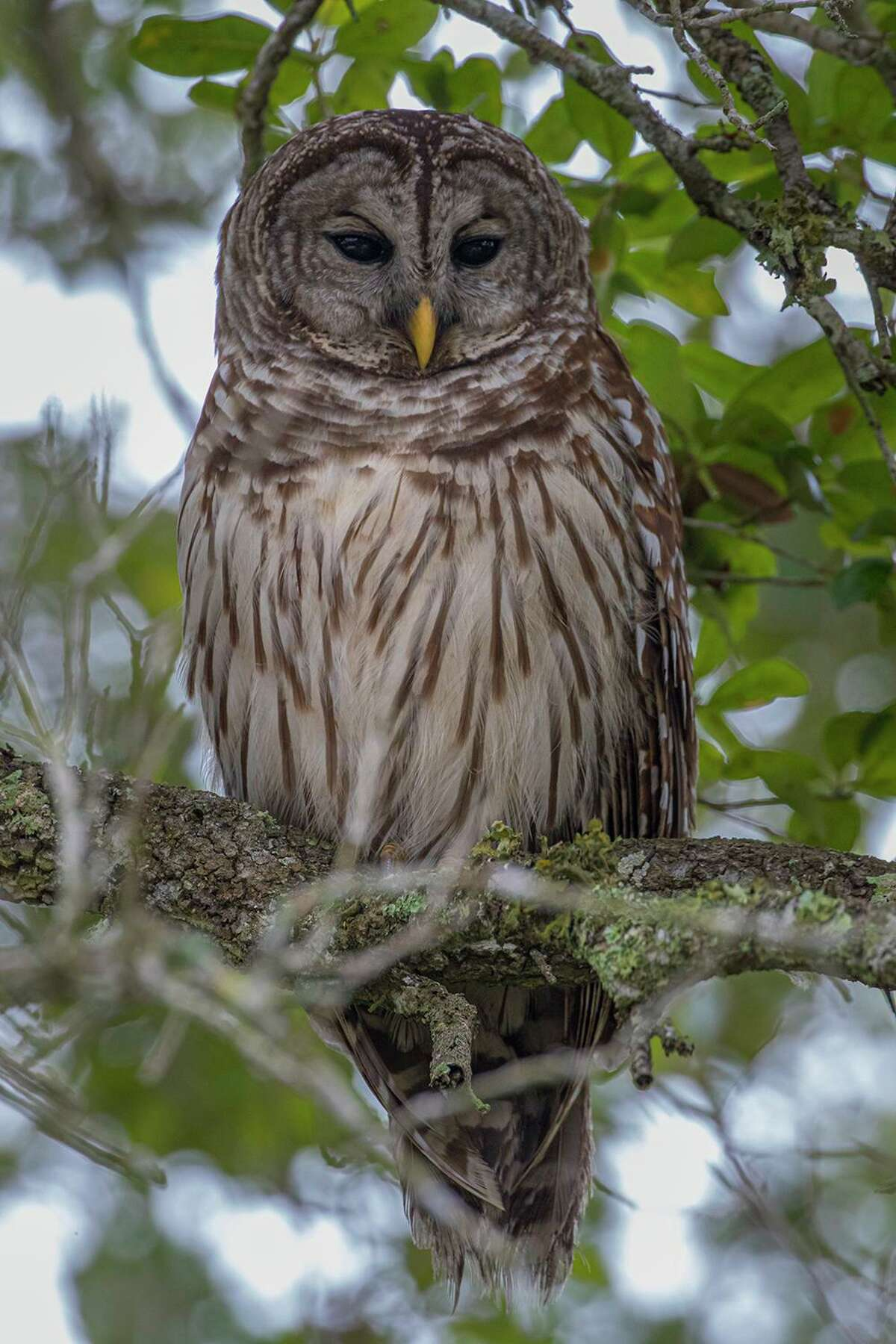 The barred owl will see you this Halloween night but you won't see it. Photo Credit: Kathy Adams Clark Restricted use.