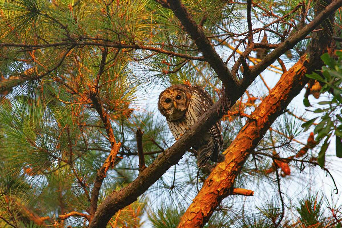 Camouflaged in neighborhood trees, the owls hunt for rats, snakes, toads, frogs and skunks.