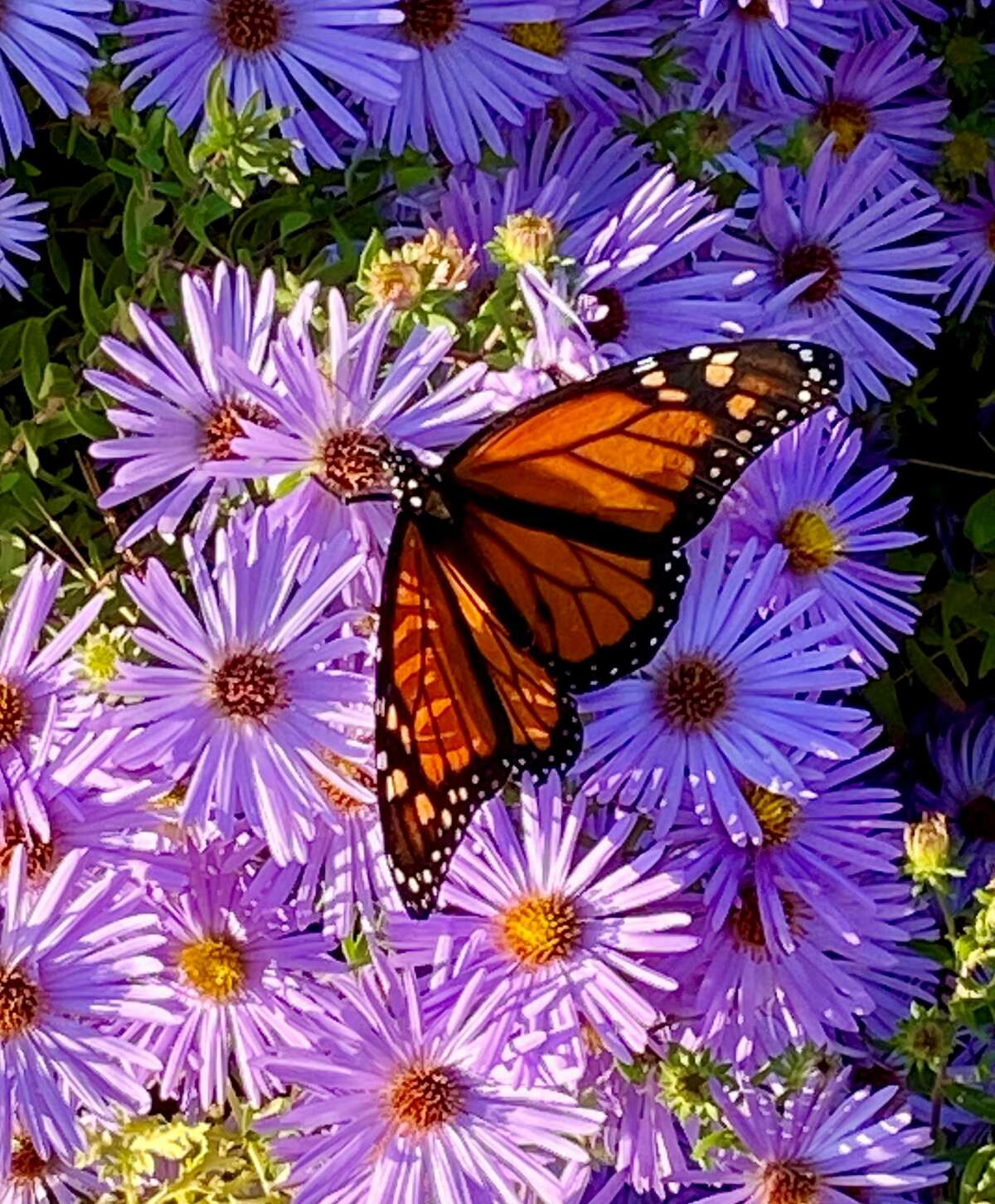 A Monarch butterfly feeds in a friend's Albany garden, by Richard Vitkay