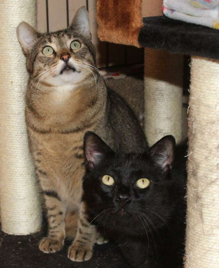 "Zeke and Chester are a 5-year-old bonded, sibling pair that have been together their entire lives. They are equally affectionate, playful and seek attention and petting when volunteers come to visit them. Zeke is FIV+ but is very healthy. The cats must be adopted together. Once you see how connected they are you'll understand why. But, we think there is room in their hearts for a dedicated and loving ""furever"" person or couple. Come meet them and see what a wonderful addition these cats will make to your home. Visit http://www.CatTalesCT.org/cats/Zeke, call 860-344-9043 or email info@CatTalesCT.org, Watch our TV commercial: https://youtu.be/Y1MECIS4mIc Photo: Contributed Photo /"