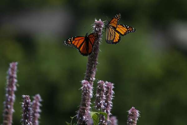 Monarch butterflies rest on giant hyssop plants in Lurie Garden at Millennium Park in Chicago on Aug. 30.