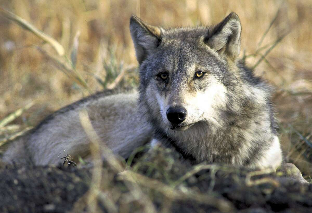 A gray wolf rests in tall grass in this undated file photo provided by the U.S. Fish and Wildlife Service.