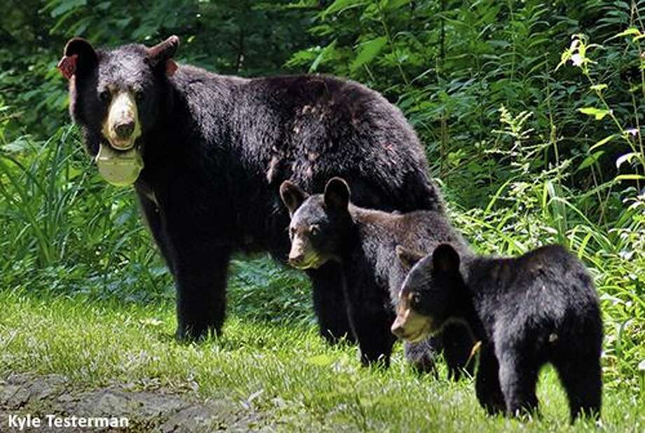 Black bears are commonly seen in many areas of Connecticut. Photo: DEEP / Contributed Photo