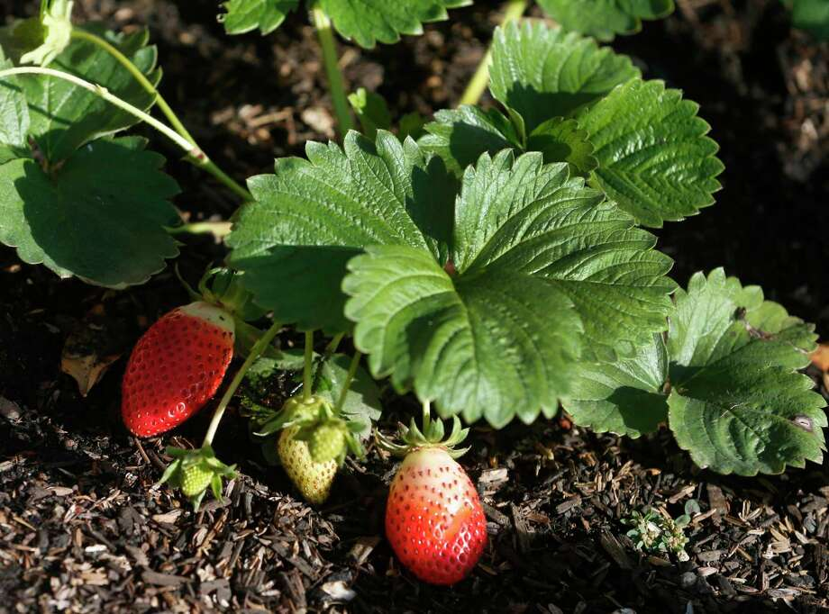 The home garden is a great place to grow strawberries. These delicious treats can be productive if you stick to a few basics. Quality strawberries sell for a modest price at the market. With a little start-up money and the right care you can grow these fruit right in your own backyard. Photo: Paul Chinn, Staff / The Chronicle / ONLINE_YES