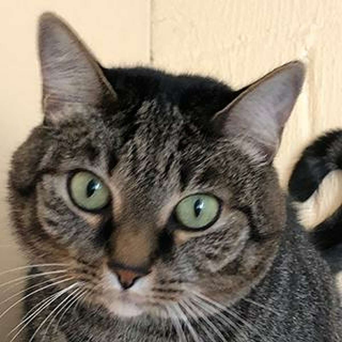Meet Kriesty, a beautiful 6 year old tabby. If you're a sucker for green eyes, this girl is for you. She's an independent cat with low energy and beautiful house manners who has been a loved indoor cat with a single owner her whole life. She would prefer to be the sole companion to a person or a couple, unbothered by the comings and goings of kids and other pets. She is opinionated on what kind of attention she receives - she'll accept face and chin scratches forever, but prefers not to have her lower back ruffled. Because she is a bit particular, she is best suited to a family with previous cat experience who will know how to read her signals. She's available in Westport. Remember, the Connecticut Humane Society has no time limits for adoption. Applications for adoption can be obtained at https://cthumane.org/adopt/all-adoptable-pets/. To learn more about operations during COVID-19, go to https://cthumane.org/adopt/adoption-process/.