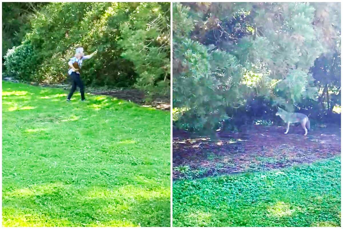 S.F. resident Jamie Carlson, left, holds her grandson in San Francisco's Golden Gate Park on Oct. 13, 2020, after the coyote pictured on the right nearly bit the child. These images are screen captures taken from a bystander's video.
