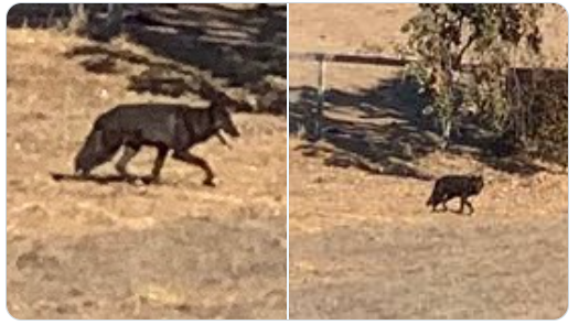 Warnings as three wolf hybrids spotted in Monterey County