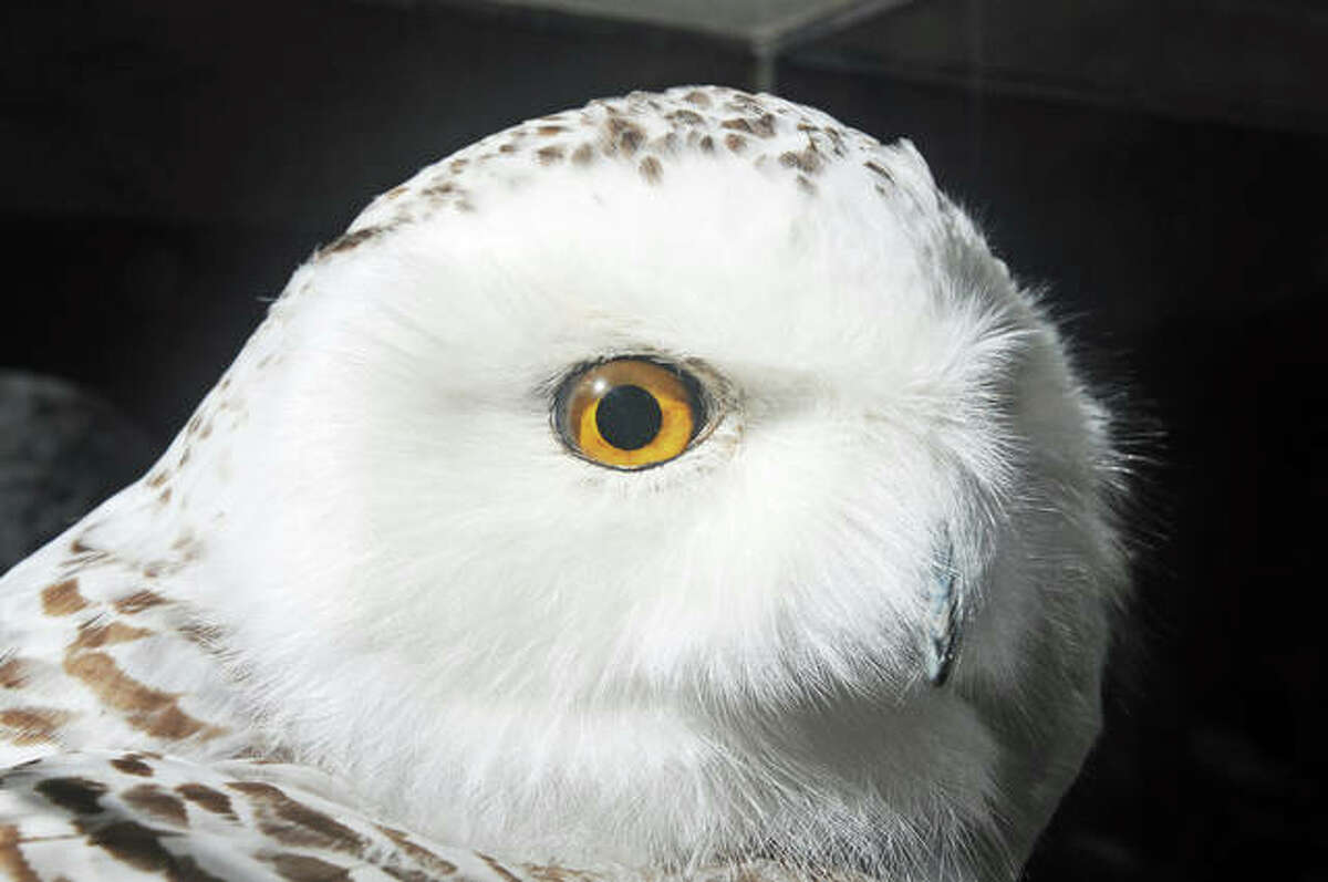 A snowy owl greets visitors at Saturday's Owl-O-Ween event at TreeHouse Wildlife Center.