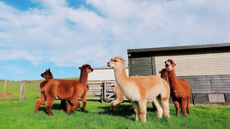 With the ever-growing push for sustainability, alpaca fiber may stand as the next greatest thing in fashion. Could the animal offer new economic opportunities for Michigan farmers? (Courtesy photo/Jaddy Liu/Unsplash.com)