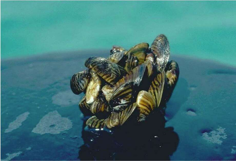 Researchers found that the round goby, an invasive species, keeps zebra mussels, like those pictured, from returning to areas where they've been removed. (Courtesy photo/D. Jude/University of Michigan)