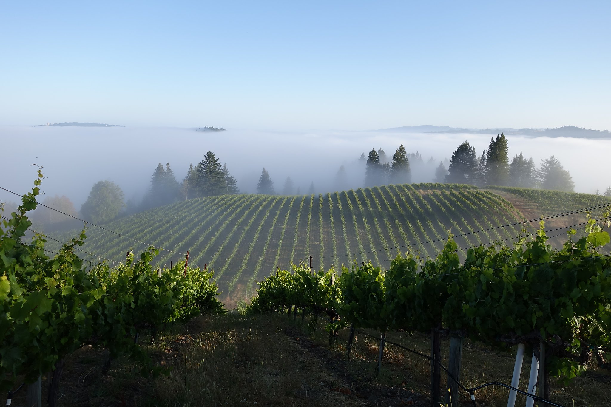 An 'entry-level' Sonoma Pinot Noir that punches way above its weight