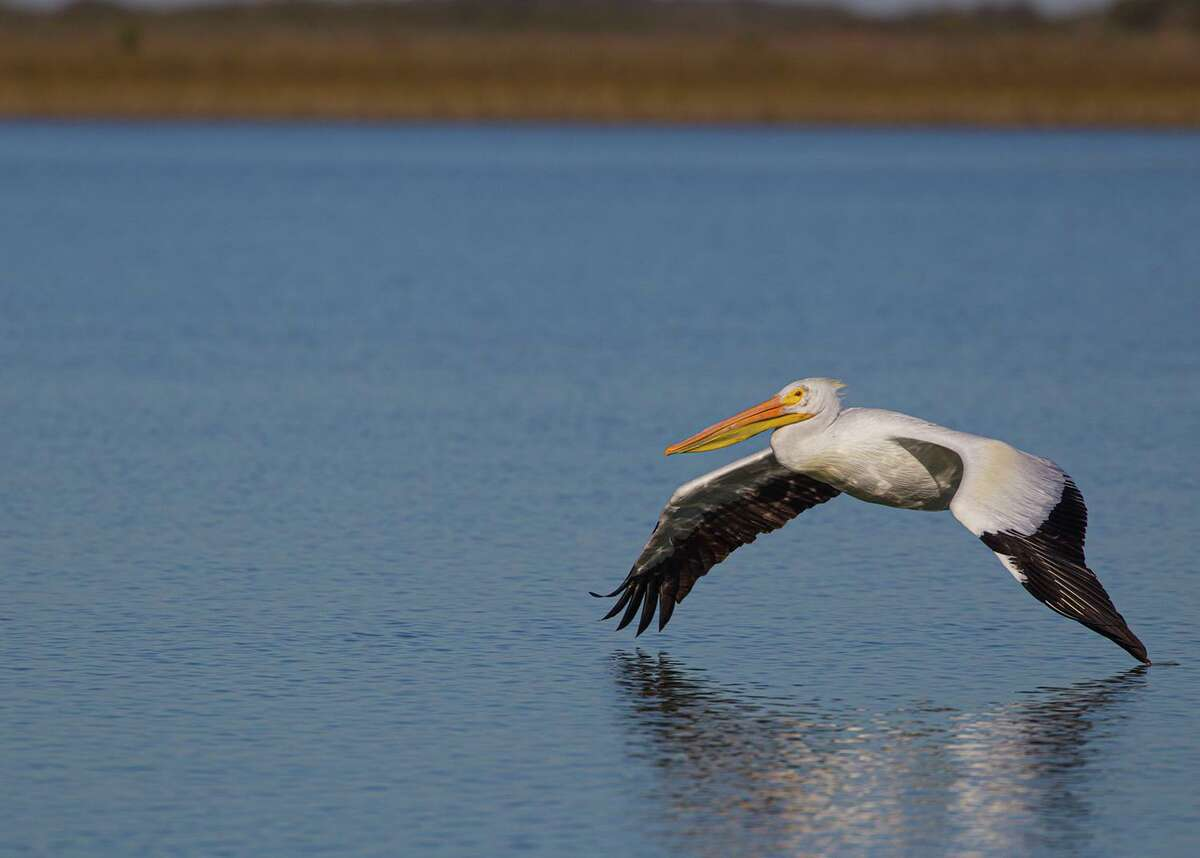 American white pelicans can glide across the water on wings that span nine feet. Photo Credit: Kathy Adams Clark. Restricted use.