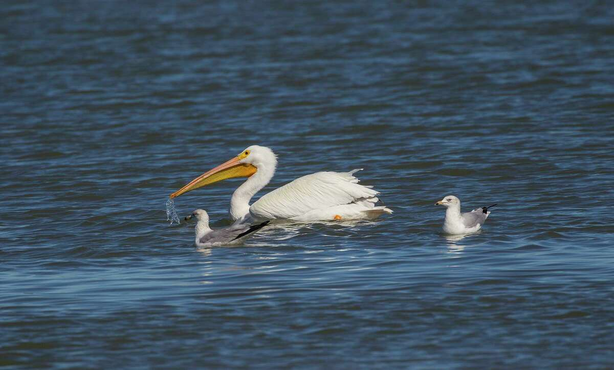 American white pelicans can be found fishing in freshwater and saltwater during the winter in Texas. Photo Credit: Kathy Adams Clark. Restricted use.