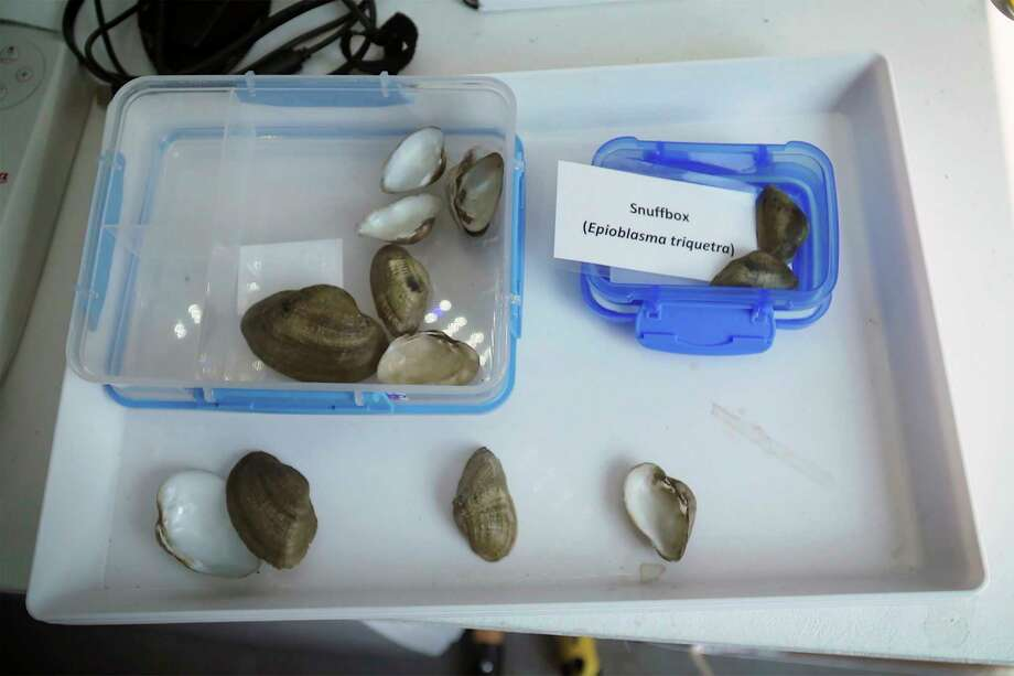 Snuffbox mussel shells are yellowish-green to brown and adorned with dark green rays or chevron-like marks. (Courtesy photo/Michigan Department of Natural Resources)