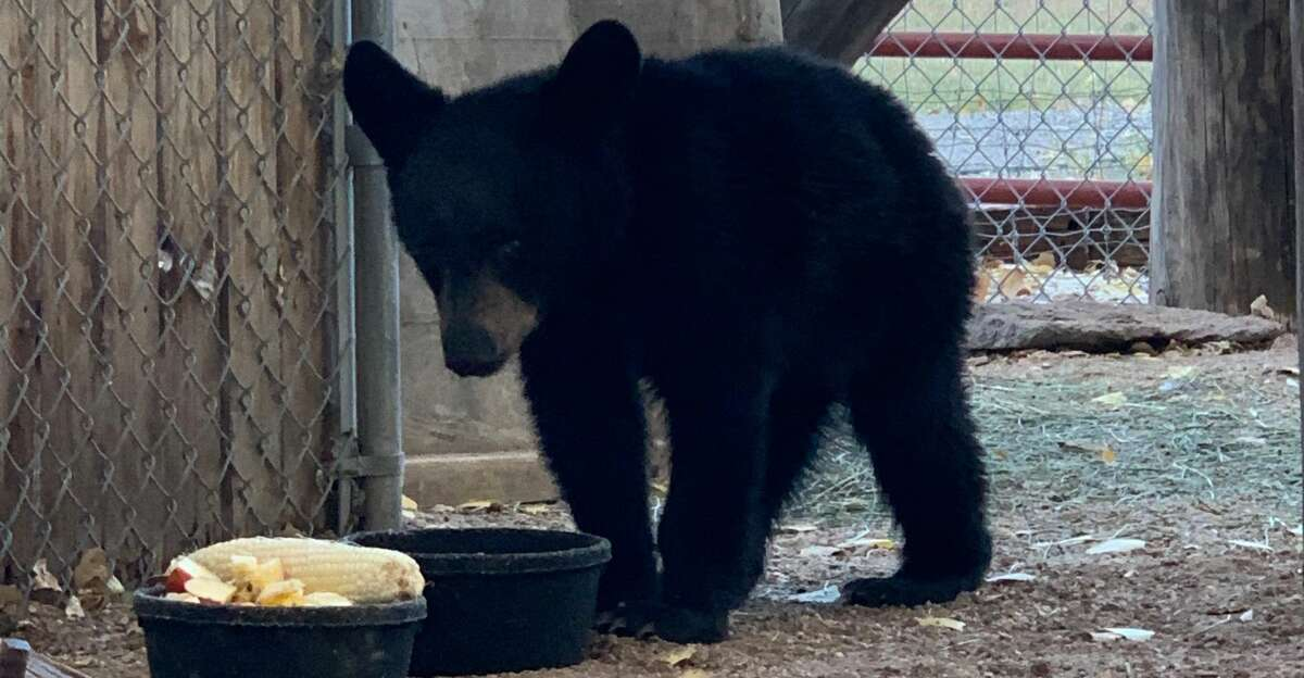 Flor, an orphaned bear cub currently being rehabilitated at the Cottonwood Wildlife Rehabilitation Center in Espanola, N.M.