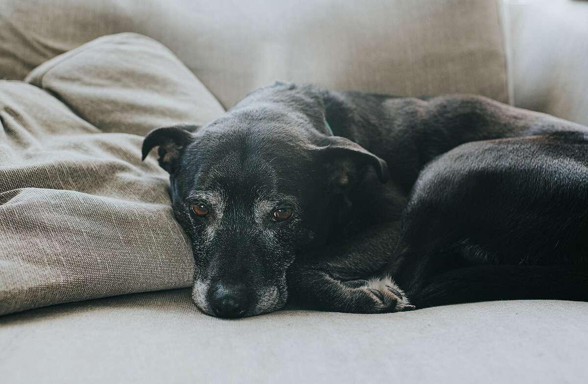 Old, black dog, lying on a sofa. Greying around the muzzle and eyes.