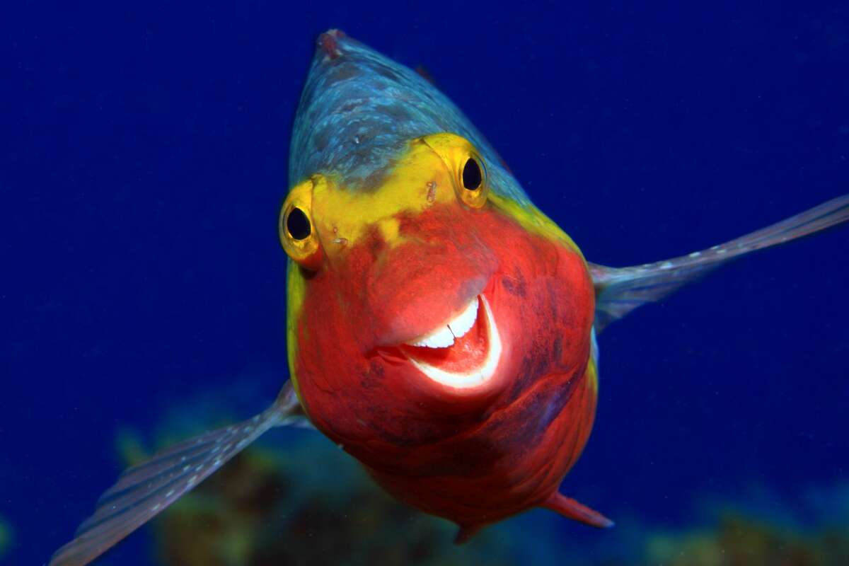 Not all underwater critters mind having their picture taken: Parrotfish off El Hierro, Canary Islands. (Highly commended, Comedy Wildlife Photo Awards 2020.)
