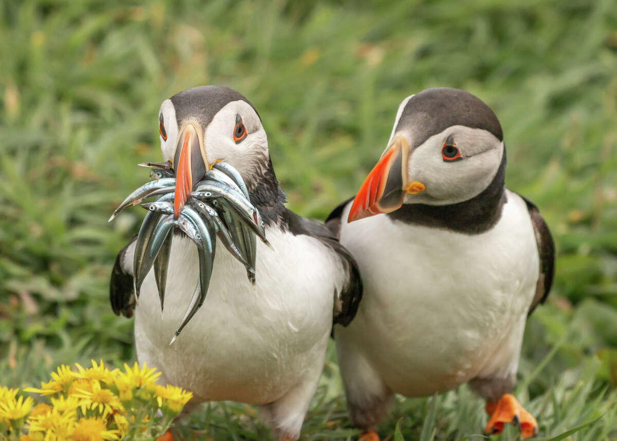 Seriously, would you share? There are two kinds of Atlantic puffins in the world - those with fish and those who wish they had fish. Undisclosed location in Scotland. (Highly commended, Comedy Wildlife Photo Awards 2020.)