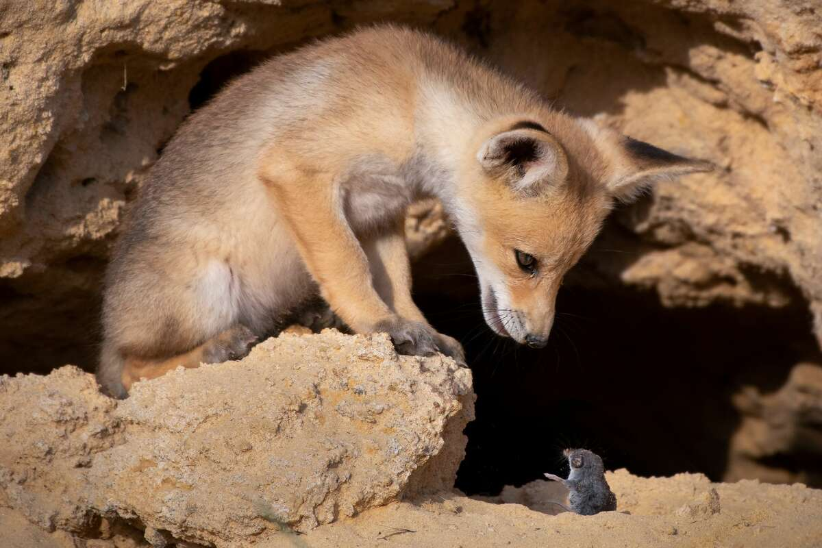 Please don't eat me: A shrew's last request to a fox cub. The  photographer did not say if it was granted. Undisclosed location in Israel. (Highly commended, Comedy Wildlife Photo Awards 2020.)