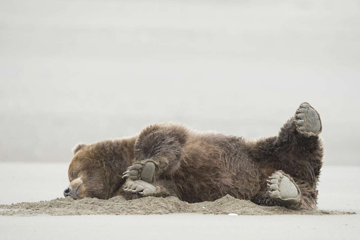 You got me, pardner! A brown bear falls down and rolls in the sand in Lake Clark National Park, Alaska. (Finalist, Comedy Wildlife Photo Awards 2020.)