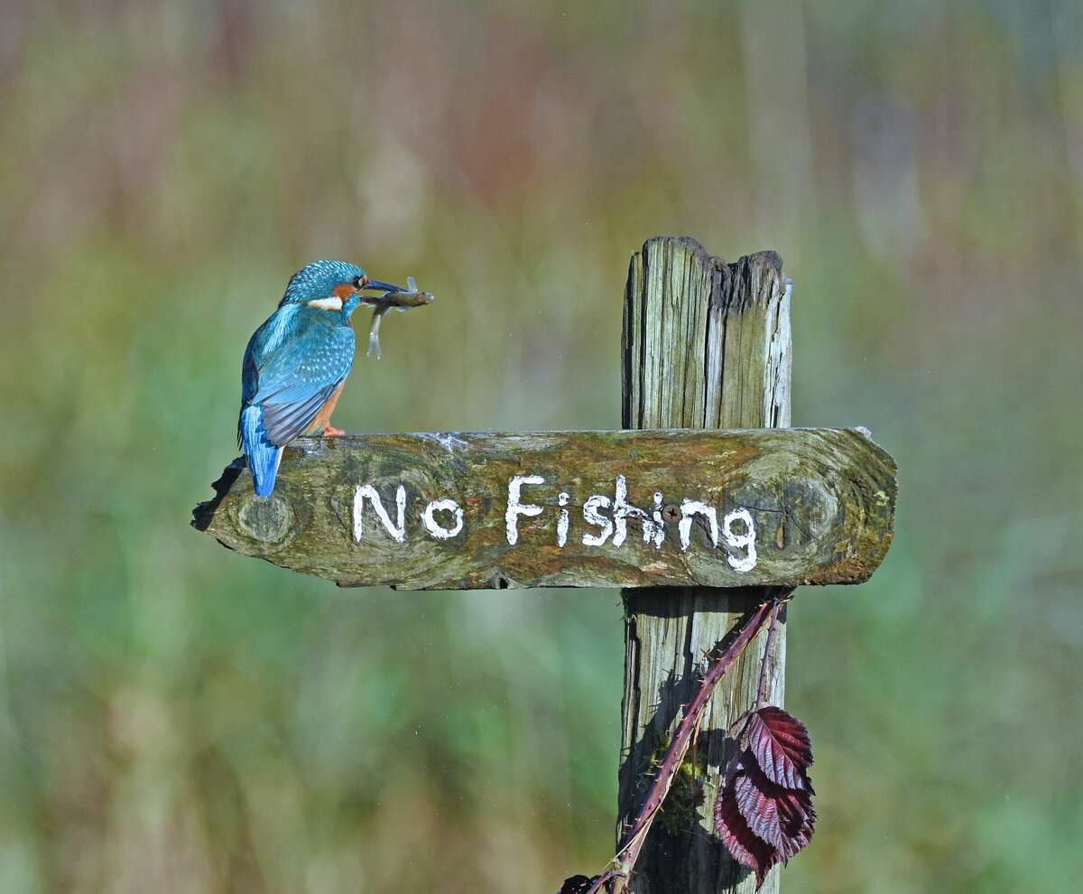 Call the warden: A kingfisher breaks the law in Kirkcudbright, Scotland. (Highly commended, Comedy Wildlife Photo Awards 2020.)